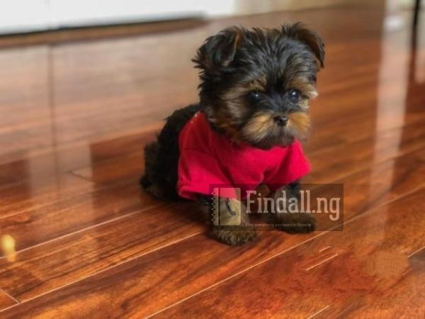 Young Male Purebred Yorkshire Terrier
