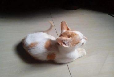 Baby Male Purebred Cat