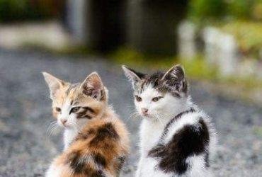 Turkish Angora Kittens