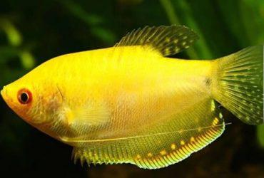 Exotic Gourami Fish
