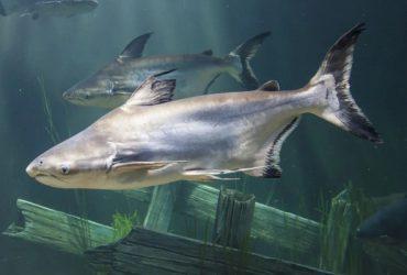 Pangasius Shark Fish