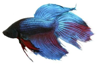 Your Siamese (Betta) Fish