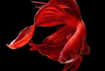 Siamese Aquarium Fighter Fish
