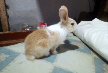 Very Cute And Healthy Bunnies For Pet And For Breeding.